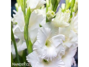 Gladiol White Prosperity 03