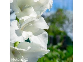 Gladiol White Prosperity 07