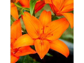 Lilie Orange Ton 1