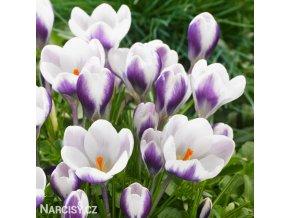 Krokus Prins claus chrysanthus 1