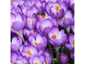 Krokus Barr's purple tommasianus 1