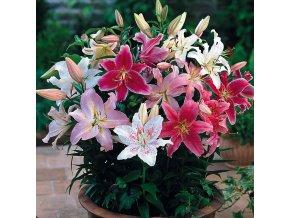 Lilie Oriental mix 4