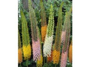 Liliochvostec Eremurus Mixed 1
