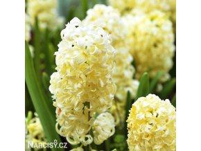 zluty hyacint city of harleem 1