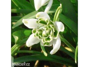snezenka galanthus flore pleno 4