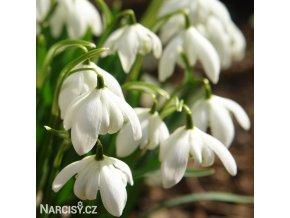 Sněženka Galanthus Flore Pleno 5