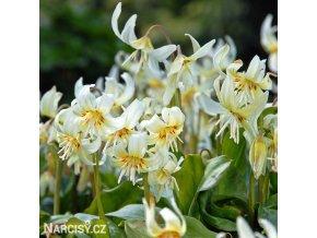 kandik bily erythronium white 1