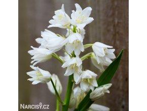 Hyacintovec bílý - Hyacinthoides hispanica white