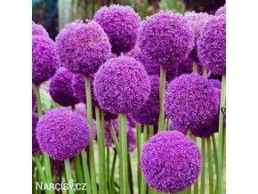 fialovy cesnek allium giganteum 1