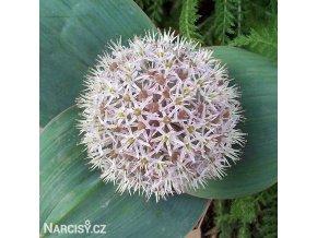 Allium Karatieviense1