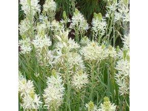 Camassia leichtlinii alba 4