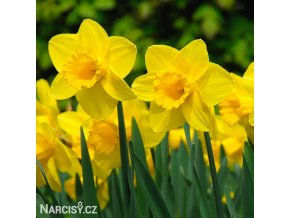 žlutý narcis carlton 1