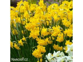 žlutý zakrslý narcis quaill 3
