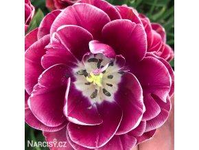 Tulipany Dream Touch 4