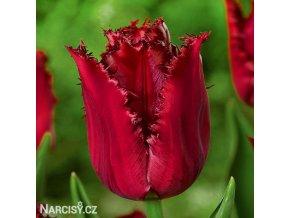 cerveny trepenity tulipan pacific pearl 1