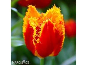 cervenozluty trepenity tulipan davenport 1