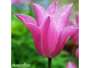 ruzovy tulipan china pink 1