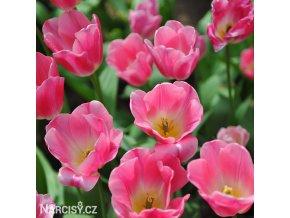 Tulipán Triumph Dynasty 3