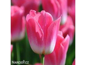 ruzovobily tulipan triumph dynasty 1