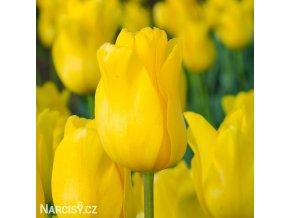 zluty tulipan triumph jan van nes 1