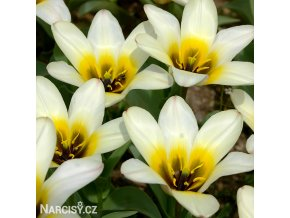 Tulipán Concerto 1