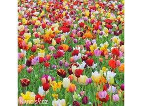 Tulipany smes 50 1