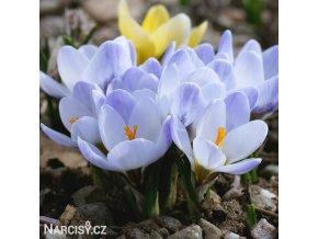blede modry krokus Blue Pearl 4