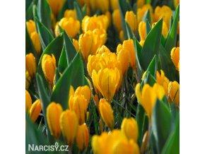 zluty krokus luteus golden 1