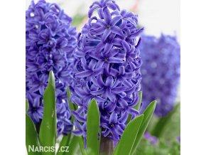 modry hyacint blue pearl 1