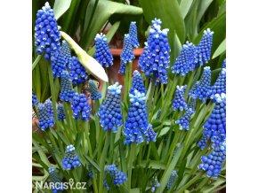 Modřenec Muscari Blue Magic 5