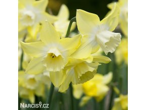 Narcis Sailboat lemon 2