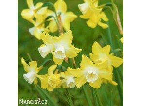 žlutobílý narcis sailboat lemon 4
