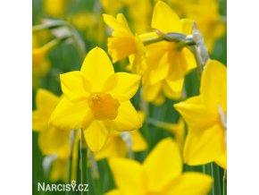 žlutý narcis sweetness 5