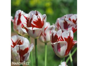 Tulipán Triumph Grand perfection 3