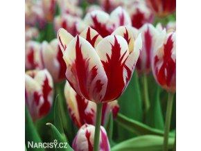 cervenobily tulipan grand perfection 1