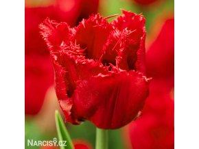 Tulipán třepenitý - Red Wing