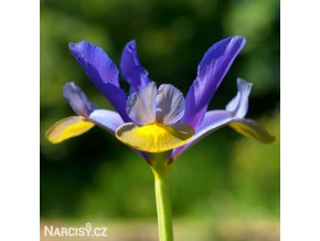 Iris frans hals hollandica 1