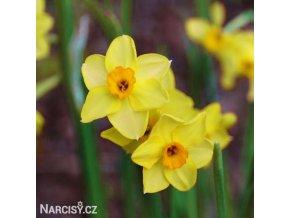 Narcis Golden dawn 1