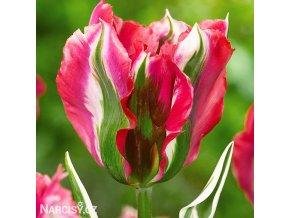 ruzovozeleny tulipan esperanto 1