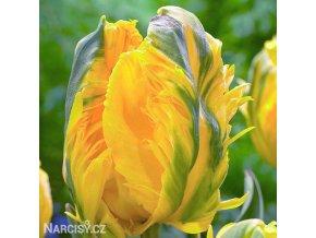 Tulipan Eagle wings 1