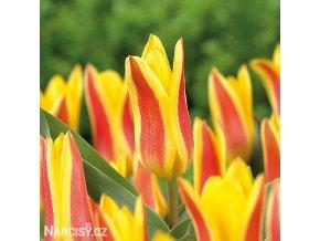 zlutocerveny tulipan kaufmanniana giuseppe verdi 1