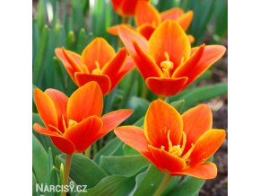 oranzovy tulipan kaufmanniana early harvest 1