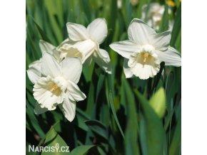 bílý narcis mount hood 2
