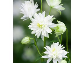 Aquilegia white barlow 02