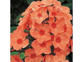Phlox Orange 01