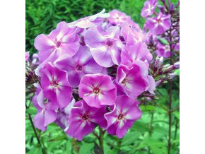 Phlox Blue boy 01