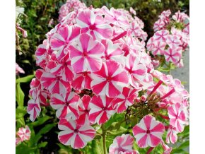 Phlox Peppermint twist 01