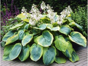 Hosta Frances williams sieboldiana 4