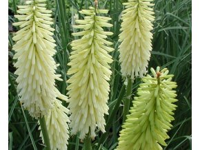Kniphofia Ice Queen 02