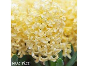 zluty hyacint gipsy princess 1
